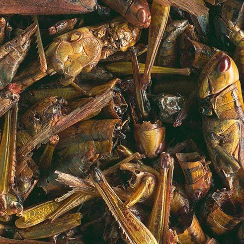 tetra Натуральное лакомство для водных черепах Tetra Repto Delica Grasshopers 250 ml кузнечики 193901